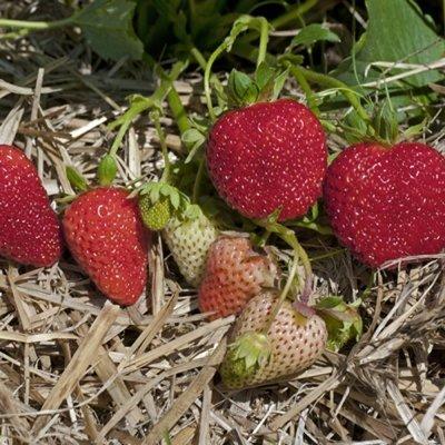 StrawberryAlbion Day-Neutral Strawberry bundle of 25